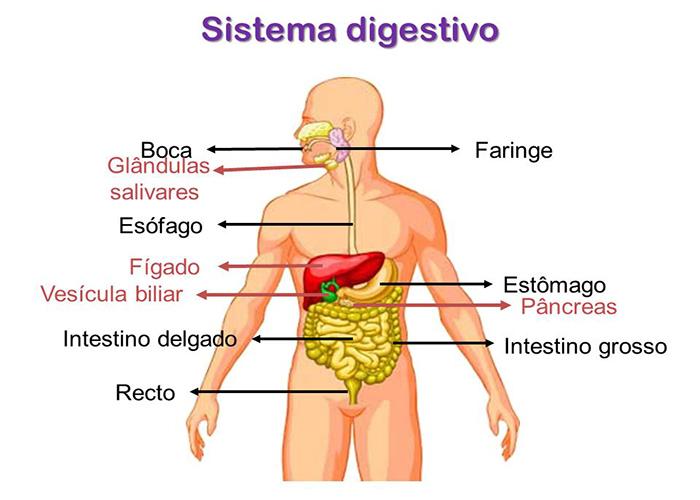 Sistema Digestório Conheça Os órgãos E Entenda Todo O