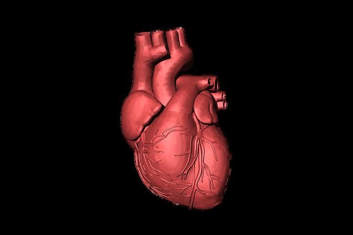 Sistema Circulatório Como Funciona Quais Orgãos Fazem