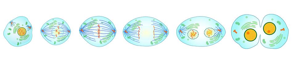 fases da mitose mitose e meiose